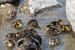 Duck and her ducklings Stock Photos
