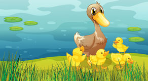 A duck and her ducklings at the riverbank Royalty Free Stock Photo