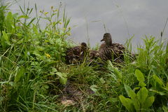 Duck and her ducklings sitting on the bank of the lake Stock Images