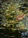 Duck and her small duckling. Duck and her small yellow duckling Royalty Free Stock Photos