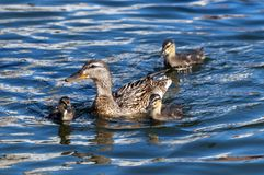 Duck with her three little ducklings Stock Photo