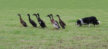 Duck Herding. A Collie Dog Herding a Group of Indian Running Ducks stock images