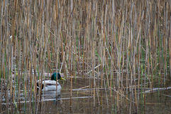Duck. Hiding in the reeds Stock Image