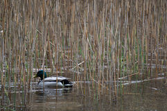 Duck. Hiding in the reeds Royalty Free Stock Photography