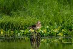 Duck on the hummocks. Gray duck resting on hummock Stock Photography