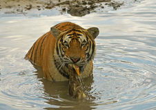 A duck hunted by China northeast tiger. Shoot in in Harbin Tiger park, China, a duck was hunted by a tiger in the tiger's mouth stock photo
