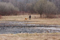 A duck hunter and his hunting dog Royalty Free Stock Image