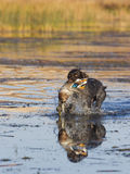 Duck Hunting. Hunting Dog with a duck in a wetland Stock Images