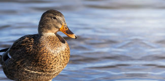 Free Duck Hunting Banner Royalty Free Stock Photos - 80339478
