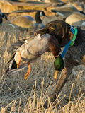 Duck Hunting. A bird dog with a drake Mallard Royalty Free Stock Photo