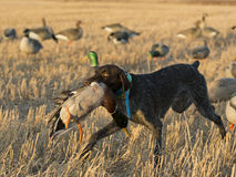Duck Hunting. A bird dog with a drake Mallard Royalty Free Stock Photography