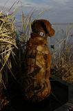 Duck Hunting Dog. A chocolate lab, wearing camo neoprene vest, looks out over duck decoys during an early morning fall hunt Stock Image