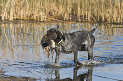 Duck hunting Dog. A hunting dog with a Mallard duck Stock Images