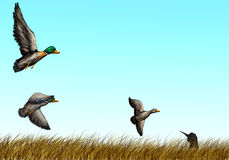 Duck hunting Stock Image