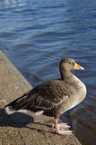 Duck in Hyde Park. A duck sitting by the Serpentine in Hyde Park Stock Image