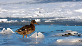 Duck on ice Royalty Free Stock Photos