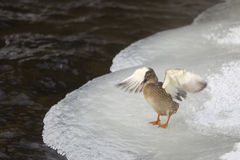 Duck On Ice Royalty Free Stock Photo