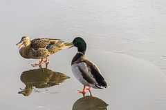 Duck on ice. A duck drinking water on the reflecting ice Stock Photo