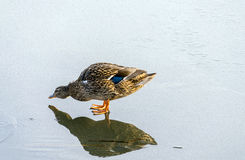 Duck on ice. A duck drinking water on the reflecting ice Royalty Free Stock Image