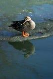 Duck on an ice floe Stock Image
