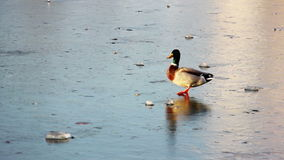 Duck on the ice stock video footage