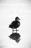 Duck on ice. Silhouet of a duck on a frozen lake Stock Image