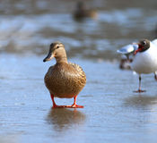 Duck on ice spring bird Royalty Free Stock Image