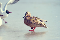 Duck on ice spring Stock Photography