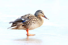 Duck on ice spring bird.  Royalty Free Stock Images