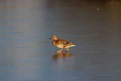 Duck on ice stock images