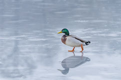 Duck on ice Stock Photography