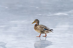 Duck on ice Royalty Free Stock Photography