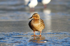 Duck on the ice in winter Stock Photo