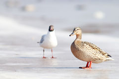 Duck on the ice in winter. Ice Stock Photography