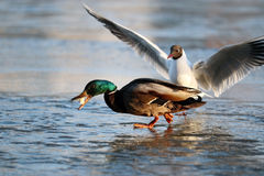 Duck on the ice in winter. 
