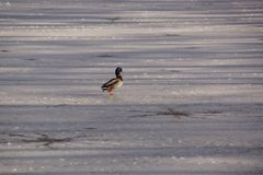 Duck on the ice in winter. A duck Mallard which works in the sun on the ice-cold lake. It is a shooting in the day, there is a sun. In winter season and without Stock Photo