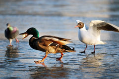 Duck on the ice in winter. Seagull Royalty Free Stock Image