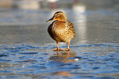 Duck on the ice in winter. Spring Royalty Free Stock Image