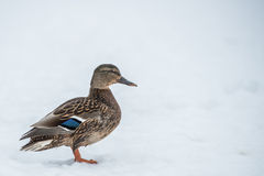 Duck on ice in winter Stock Photo