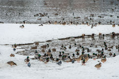 Duck on ice in winter. Time Royalty Free Stock Photo
