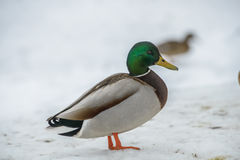 Duck on ice in winter Royalty Free Stock Photography