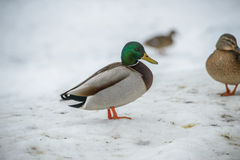 Duck on ice in winter. Time Royalty Free Stock Image