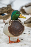 Duck on ice in winter Stock Image