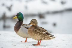Duck on ice in winter. Time Stock Photo