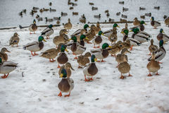 Duck on ice in winter Royalty Free Stock Image