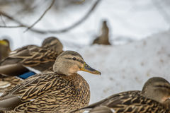 Duck on ice in winter Stock Images