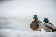 Duck on ice in winter Stock Photography