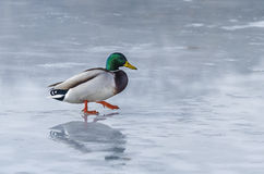 Duck on icy lake Stock Photo