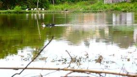 Duck il nuoto nello stagno e nell'altra anatra sul archivi video