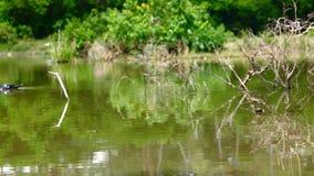 Duck il nuoto nello stagno e sposti a fuoco da vicino stock footage